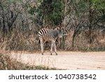 A Burchells Zebra Standing...