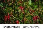 Hummingbird Or  Picaflor Rubi ...