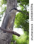 a black crowned heron standing... | Shutterstock . vector #1040845096