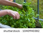 home garden on balcony  woman... | Shutterstock . vector #1040940382