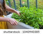 young woman harvesting basil on ... | Shutterstock . vector #1040940385