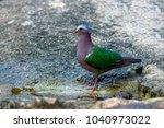 beautiful common emerald dove ... | Shutterstock . vector #1040973022