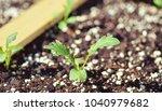 sprout of new veggies on bokeh...   Shutterstock . vector #1040979682