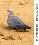 Small photo of African olive pigeon standing on the ground.