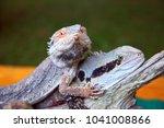 Australian Bearded Dragon ...