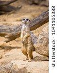 meerkat carefully watching the... | Shutterstock . vector #1041105388