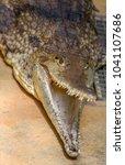 saltwater crocodile  estuarine... | Shutterstock . vector #1041107686