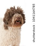 lagotto romagnolo isolated on... | Shutterstock . vector #1041164785