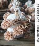 """Small photo of """"Mushroom"""" : Common split gill or have the scientific name Schizophyllum commune.The mushroom growing in sawdust with bran in plastic bag.Used to cook thai food."""