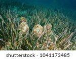 several molluscs noble pen... | Shutterstock . vector #1041173485