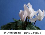 cyclamen with white flowers | Shutterstock . vector #1041254836