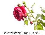 red rose isolated on white... | Shutterstock . vector #1041257032