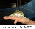 A Big Frog In The Hand In The...