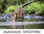 siberian tiger  hunts in a... | Shutterstock . vector #1041273982