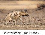 an adult striped hyena  hyaena... | Shutterstock . vector #1041355522