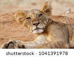 Lazy Lion Resting In Samburu...