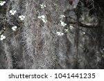 Close Up Of White Dogwood...