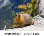 Yellow bellied Marmot on a ridge near the top of Yosemite Falls in the spring season