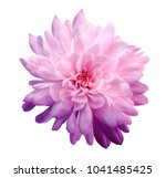 chrysanthemum  pink violet.... | Shutterstock . vector #1041485425