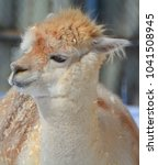 alpaca is a domesticated... | Shutterstock . vector #1041508945