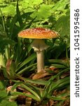 Small photo of Amanita muscaria, mushroom