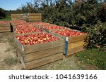 an abundant apple harvest       ... | Shutterstock . vector #1041639166
