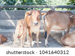 cow herds on the road. | Shutterstock . vector #1041640312
