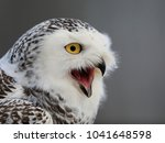 Stock photo portrait of a white owl with huge yellow eyes snowy owl bubo scandiacus 1041648598