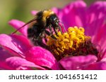 bumblebee gathers nectar on a... | Shutterstock . vector #1041651412