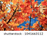 maple leaf. maple tree with... | Shutterstock . vector #1041663112
