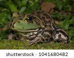 Small photo of American Bullfrog in Malaysia