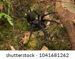 Segmented Funnel Web Spider