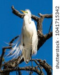 the great egret in breeding... | Shutterstock . vector #1041715342
