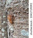 Small photo of Cicada molt on the tree