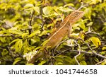 close up shot of brown lizard...   Shutterstock . vector #1041744658