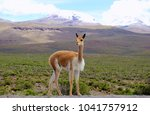 vicu a in the altiplano of the... | Shutterstock . vector #1041757912