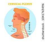 cervical plexus anatomical... | Shutterstock .eps vector #1041765496