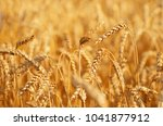 fields of wheat at the end of... | Shutterstock . vector #1041877912
