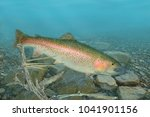 A Beautiful Rainbow Trout...