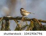 marsh tit  poecile palustris ....   Shutterstock . vector #1041906796
