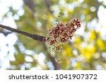 flower on tree  terculia... | Shutterstock . vector #1041907372