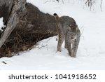 canadian lynx  lynx canadensis  ...   Shutterstock . vector #1041918652
