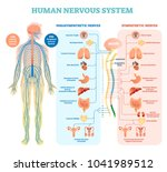 human nervous system medical... | Shutterstock .eps vector #1041989512