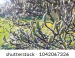 large furry flower buds of... | Shutterstock . vector #1042067326