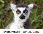 Ring Tailed Lemur Portrait