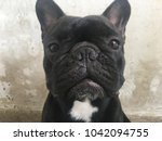 French Bulldog Sit Stay And...