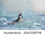 Siberian Husky On The Ice