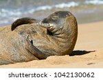 an endangered hawaiian monk...   Shutterstock . vector #1042130062