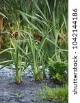 Small photo of At channels on dirty oozy coast young plants of a typha grow.