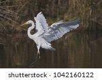 great white egret   Shutterstock . vector #1042160122